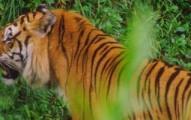 tiger-pv