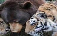 liontigerbear-pv