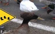ducksroadlifeprison-pv