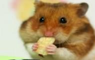 hamstereatingcontest-pv
