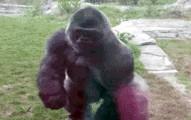 gorillabreakglass-pv